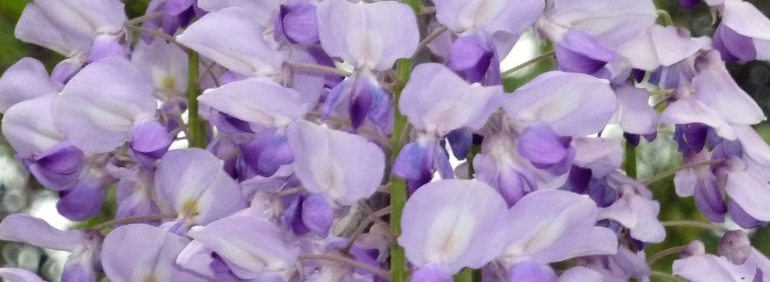 wisteriacrop3